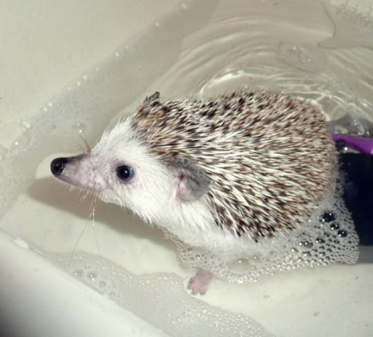 Как моются ежики6