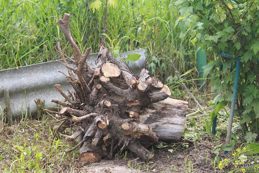 Как выкорчевать корни яблони если дерево погибло