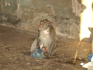 Злобный обезьян в Ангкоре - 1
