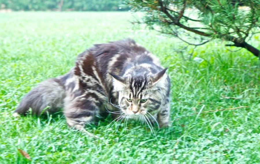Молодой Тигра
