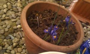 2013 Irises