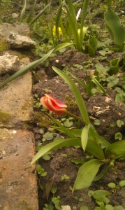 Species tulip - kaufman