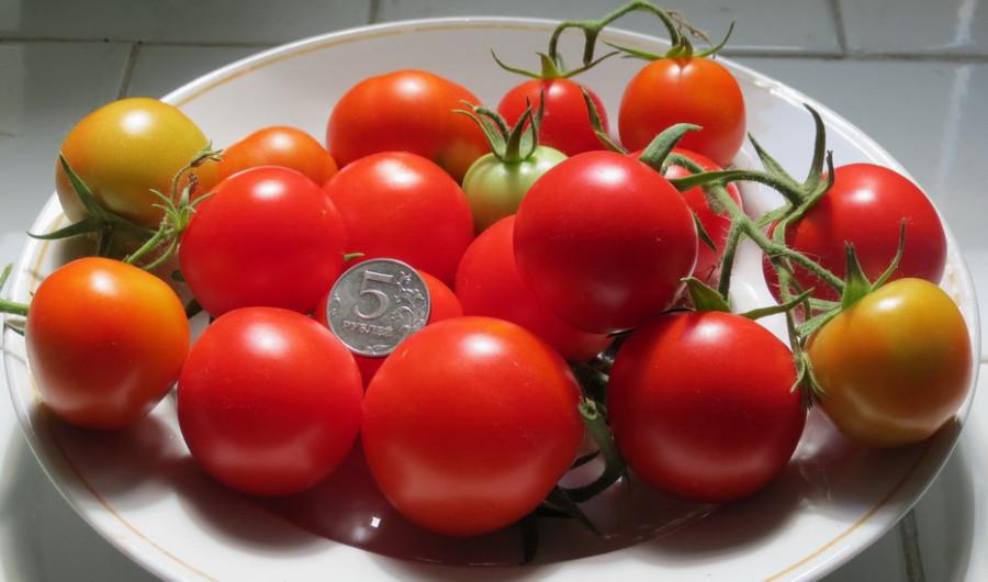 Какие сорта помидоров лучше сажать в теплицах.
