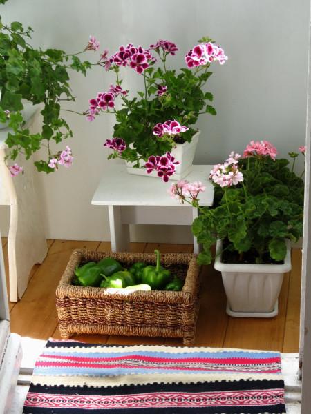 Сбор урожая сладкого перца на балконе - зелёный дневник.
