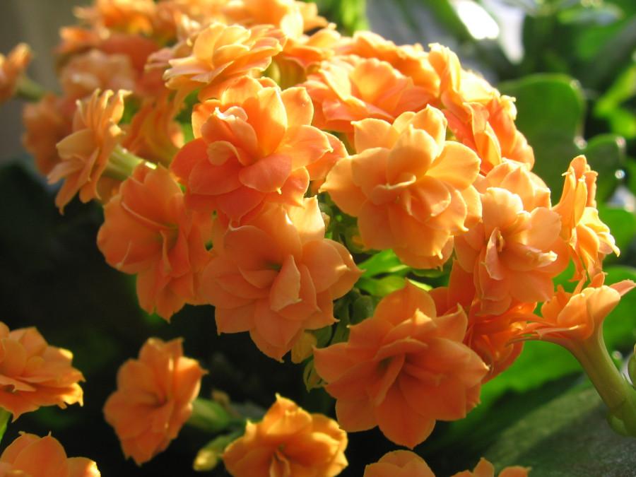 оранжевый каланхоэ
