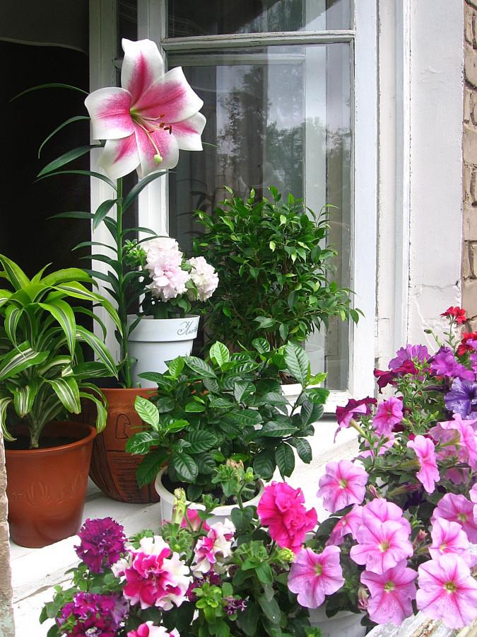 """Лилия """"триумфатор"""" как горшечный вариант. выгонка цветов."""