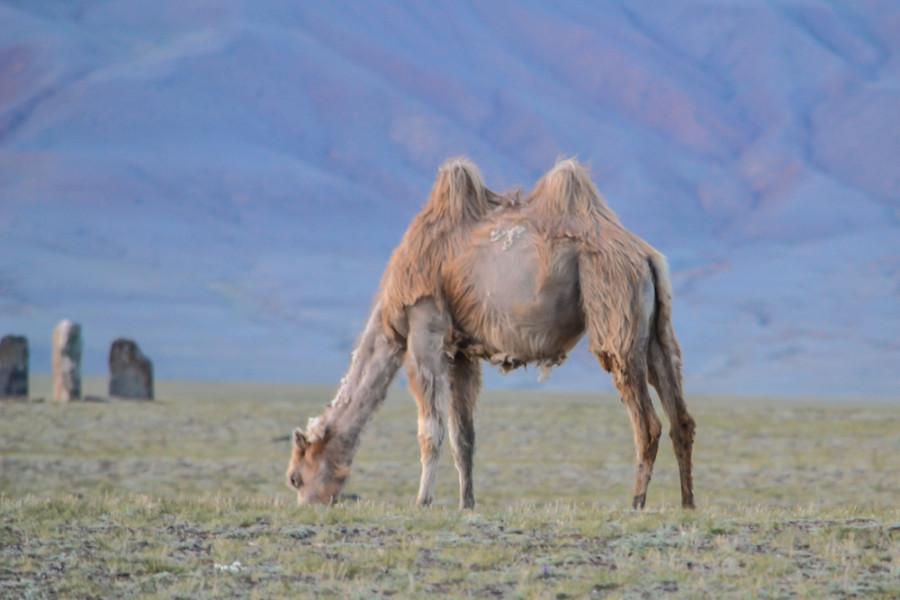 Верблюды-9
