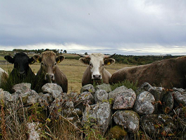 Bullocks.  Mooo.