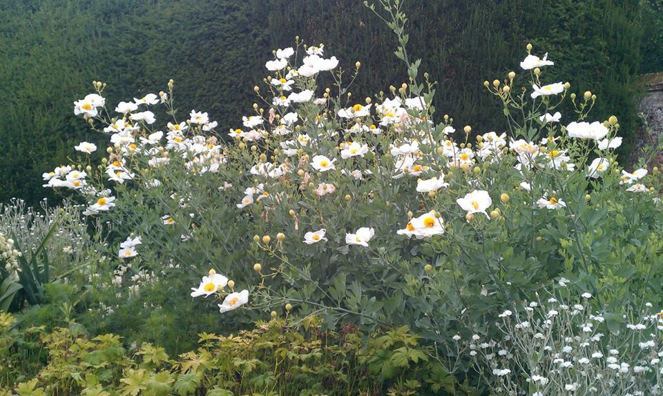 Poached egg plant at Highclere 01