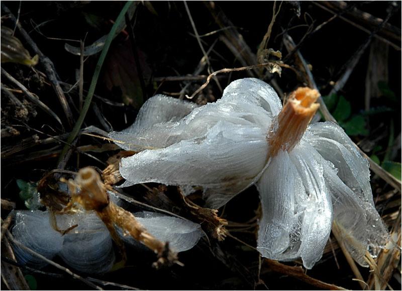 Заледеневший цветок