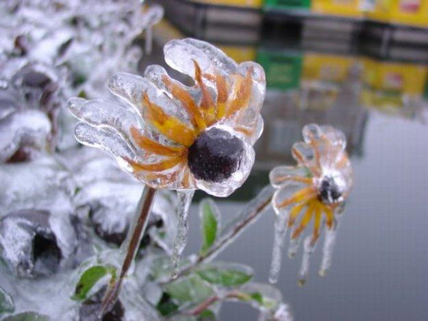 Ледяная хризантема