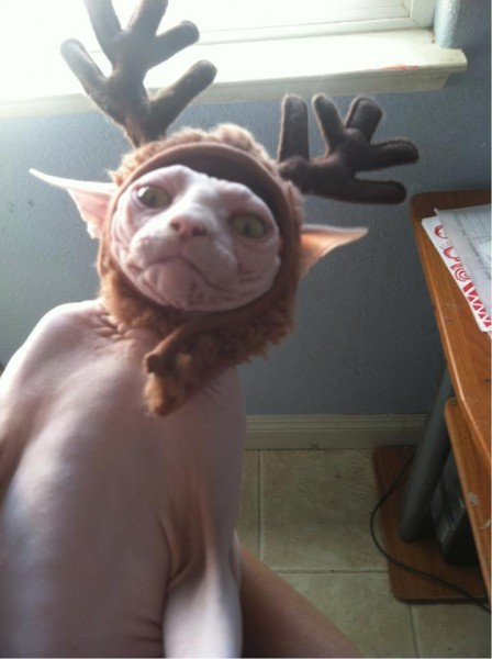 A sphinx cat in a festive reindeer hood.