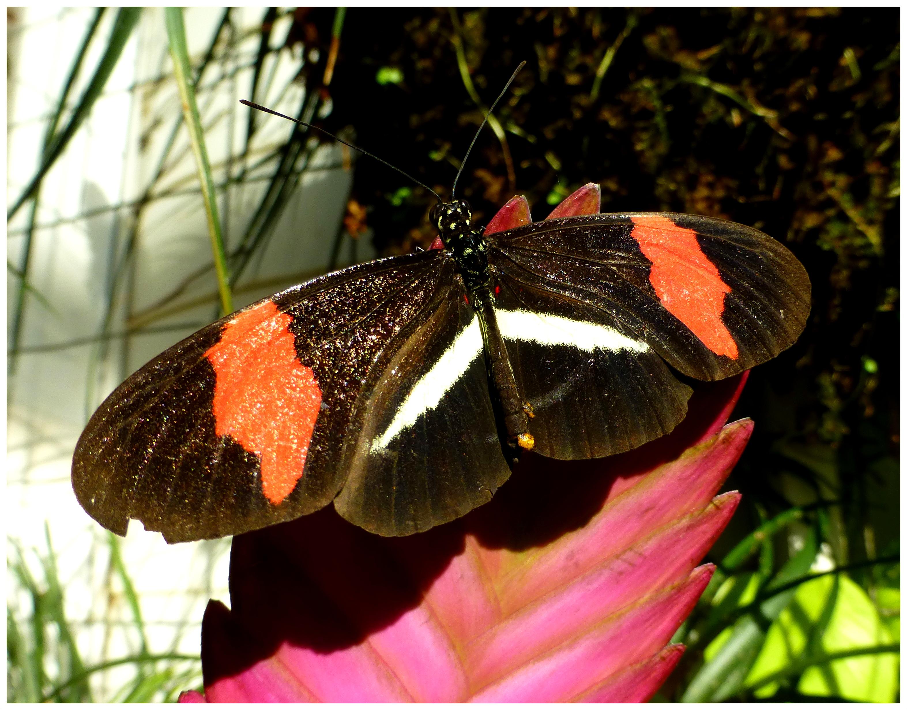 butterflies92