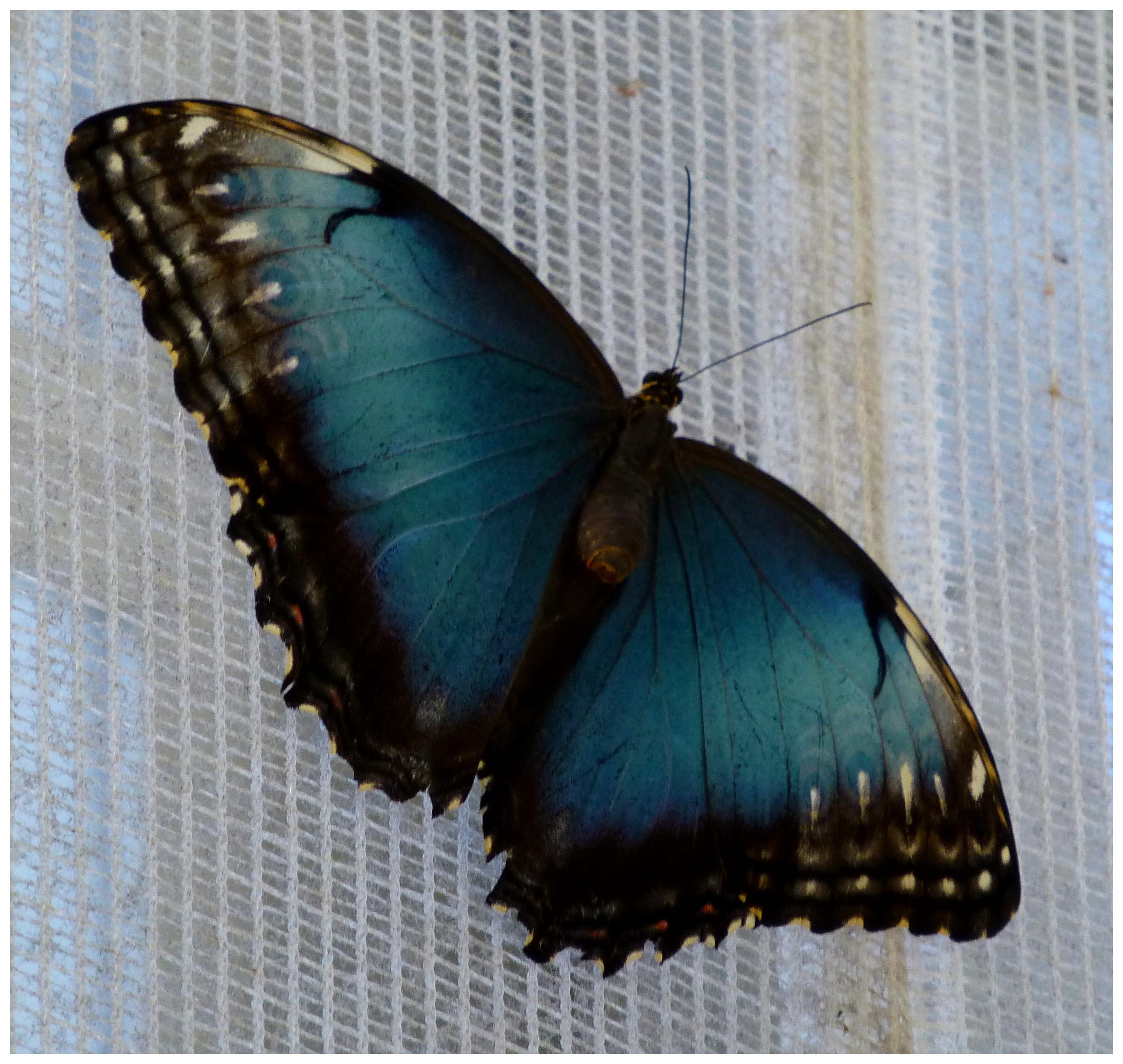 butterflies93