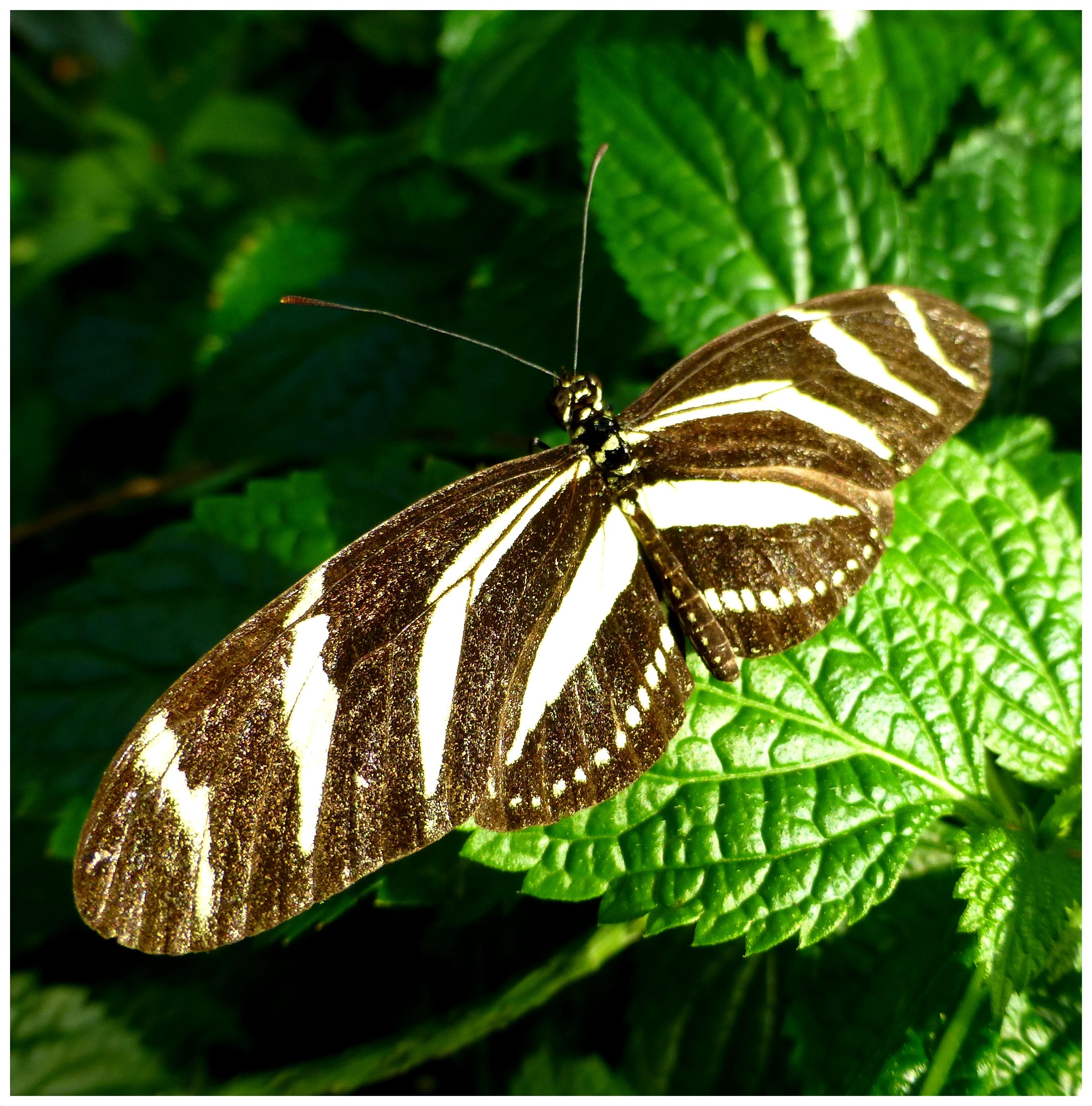 butterflies992