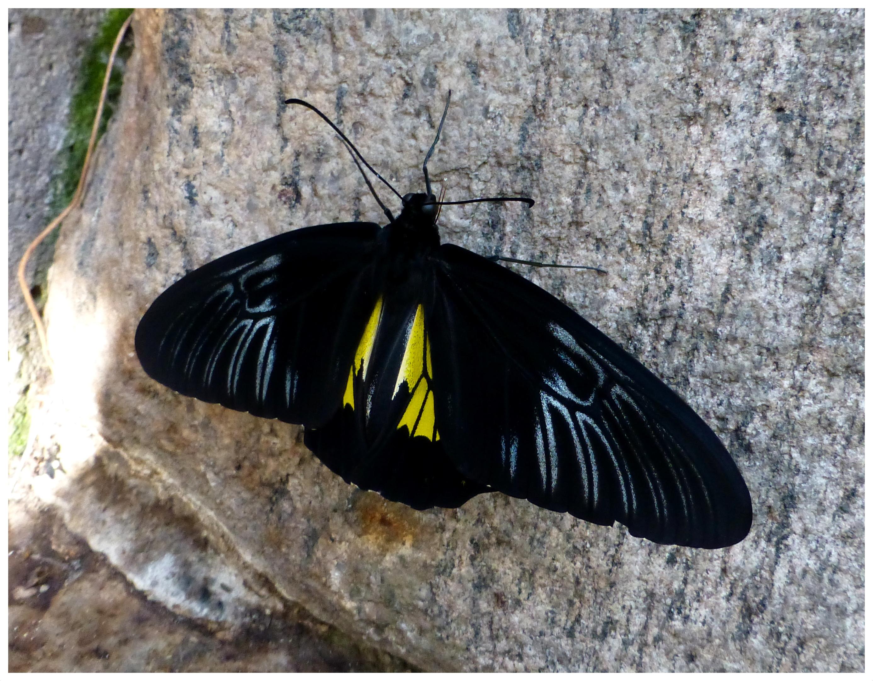 butterflies993
