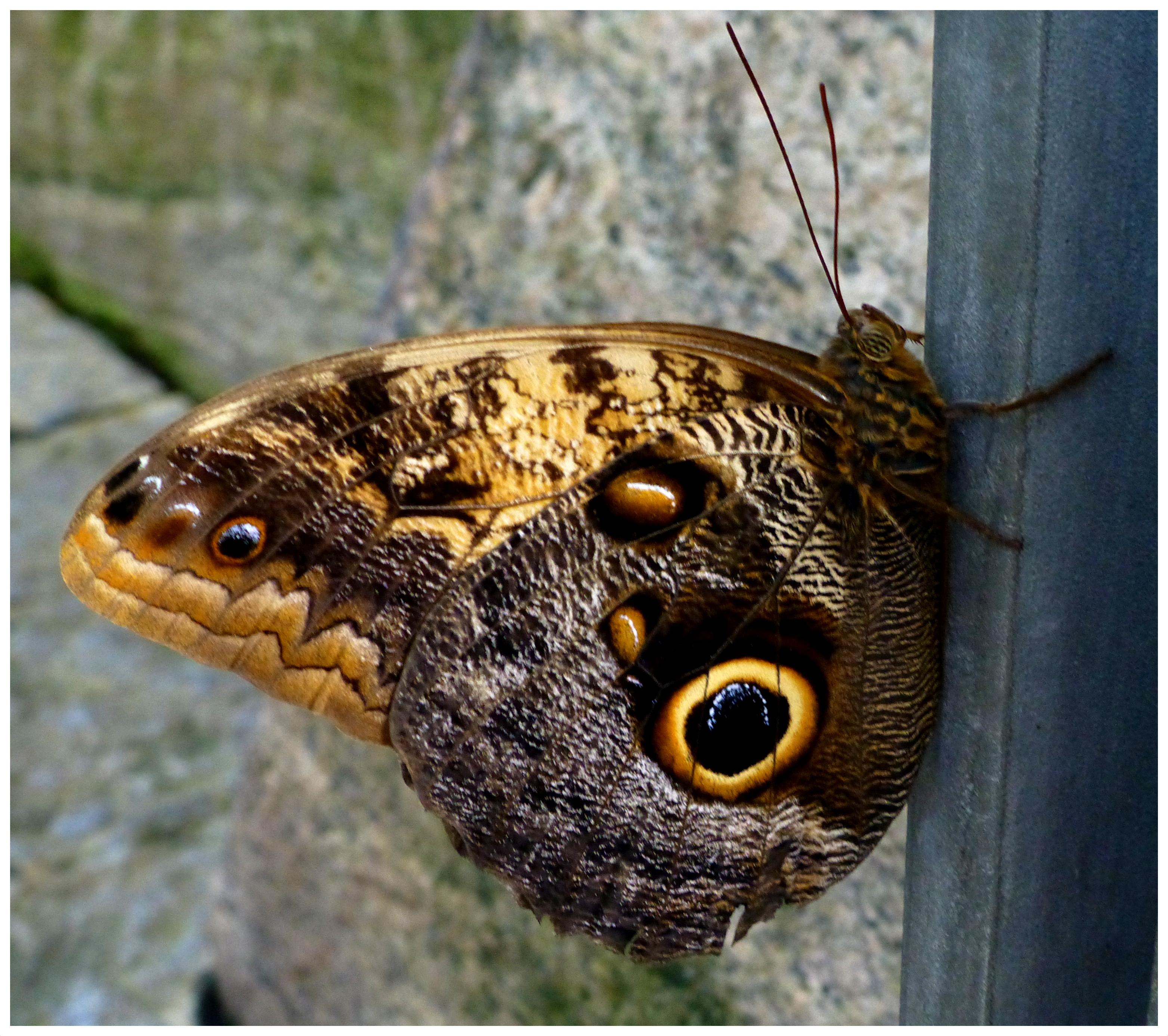 butterflies999