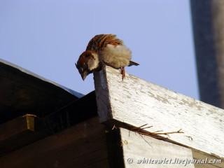 Домовый воробей (Passer domesticus), самец