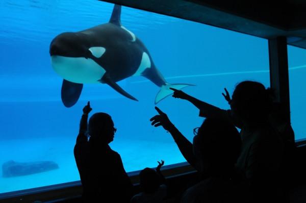 orca-kiska-alone-marineland-jo-anne-mcarthur