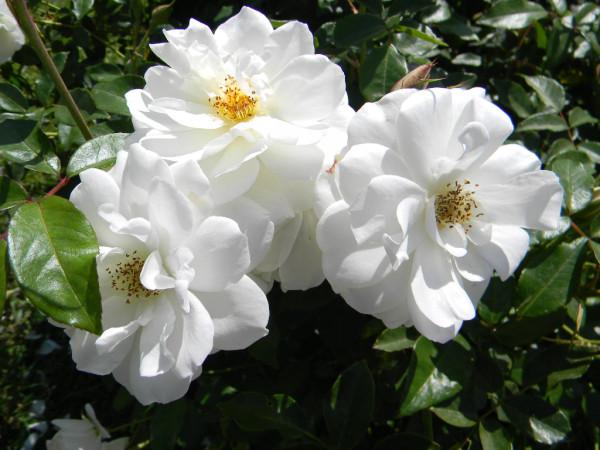 White rosa2