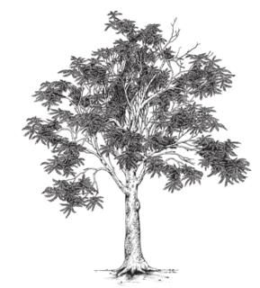 TreeofHeaven