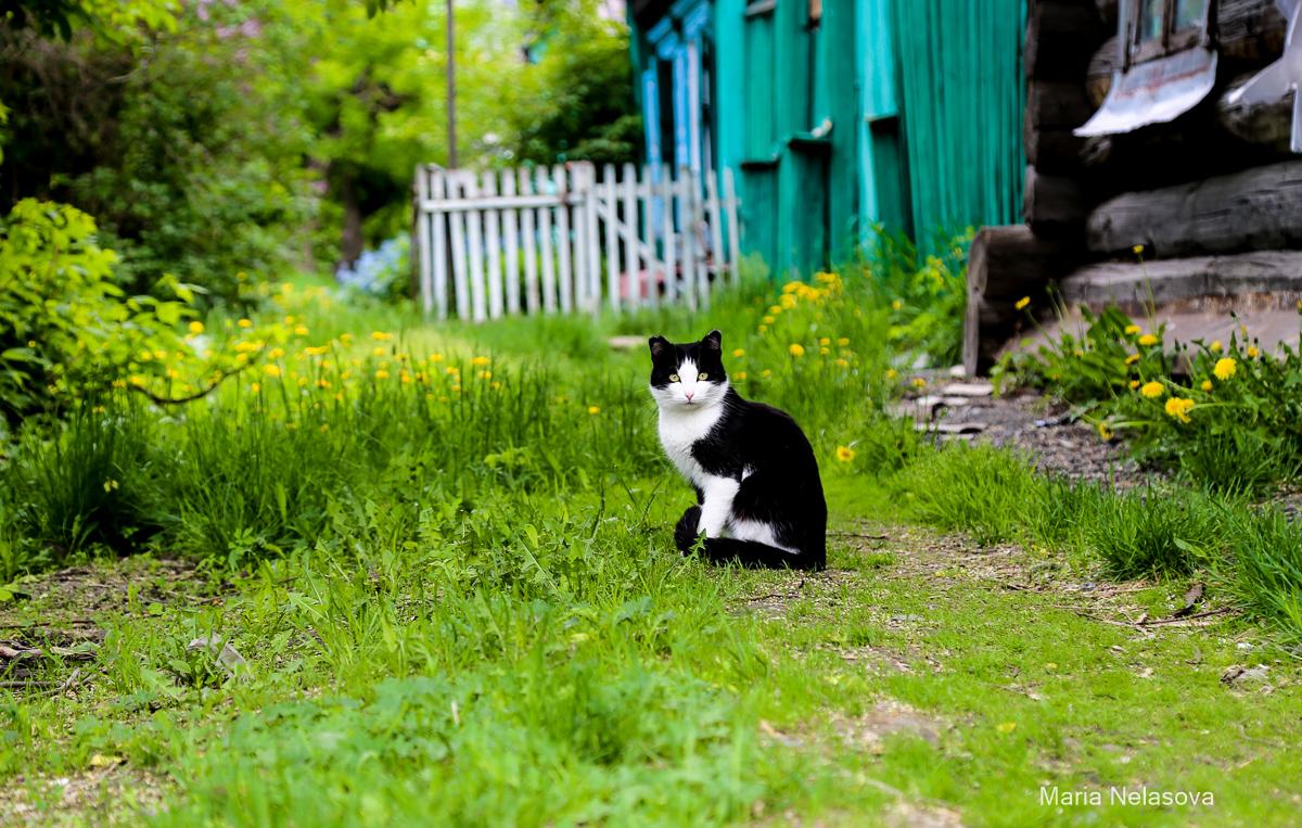 Как сибирские кошки Питер спасали