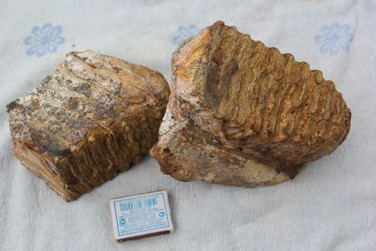 зубы мамонта.ю найденные на Азове