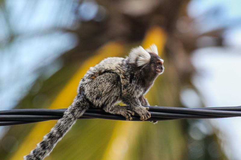В Бразилии много диких обезьян