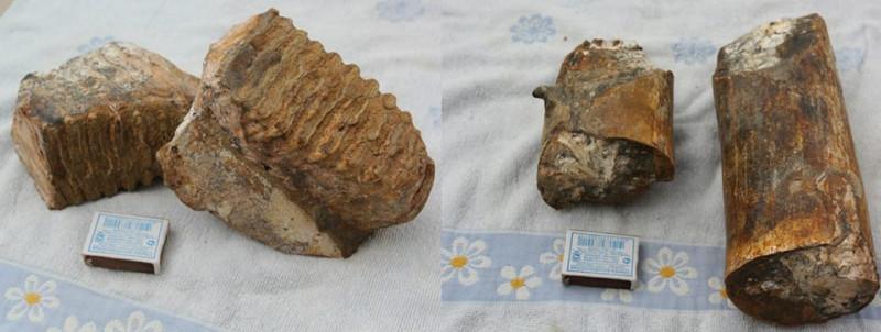 Слева- зубы мамонта, справа- бивни. Тамань, Краснодарский край.
