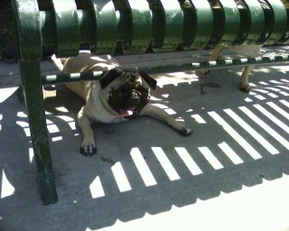Shelby seeks shade at the dog park