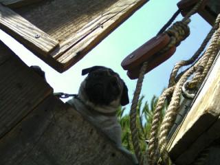 Heritage pug