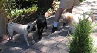 Three doggies, Shelby, Tai Tai, and Hadji