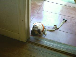 Wait here little pug
