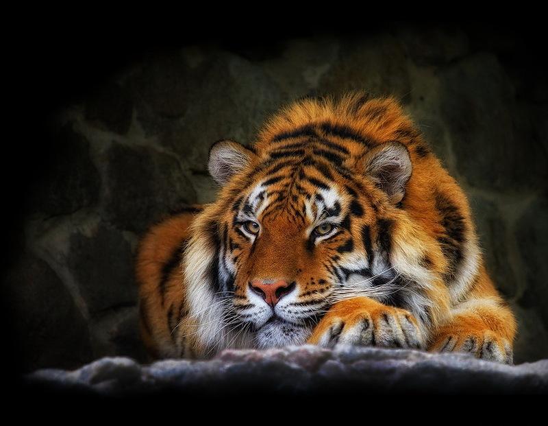 картинки на рабочий стол тигры № 512111 загрузить