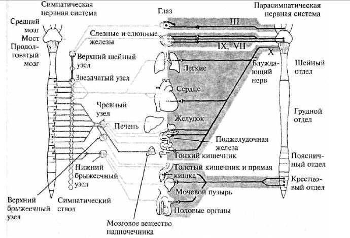 Схема строения вегетативной
