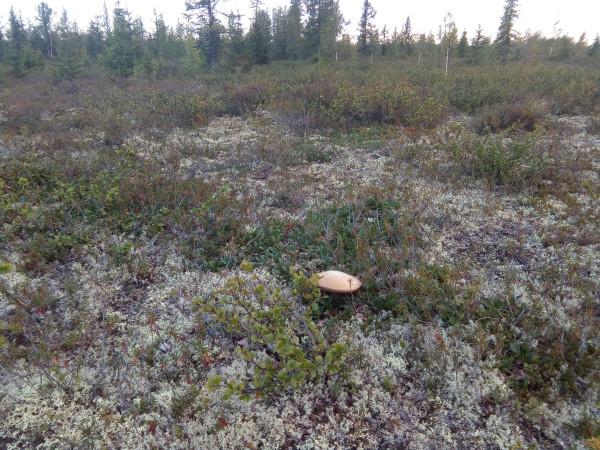 гриб в тундре