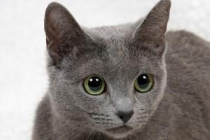 Русская-голубая-порода-кошек-300x200