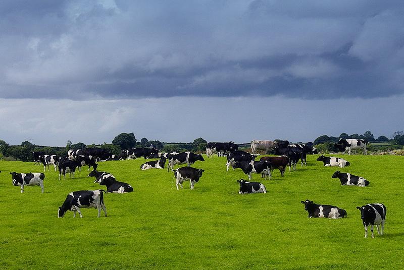 Половину мирового урожая зерна съедает скот, а не люди