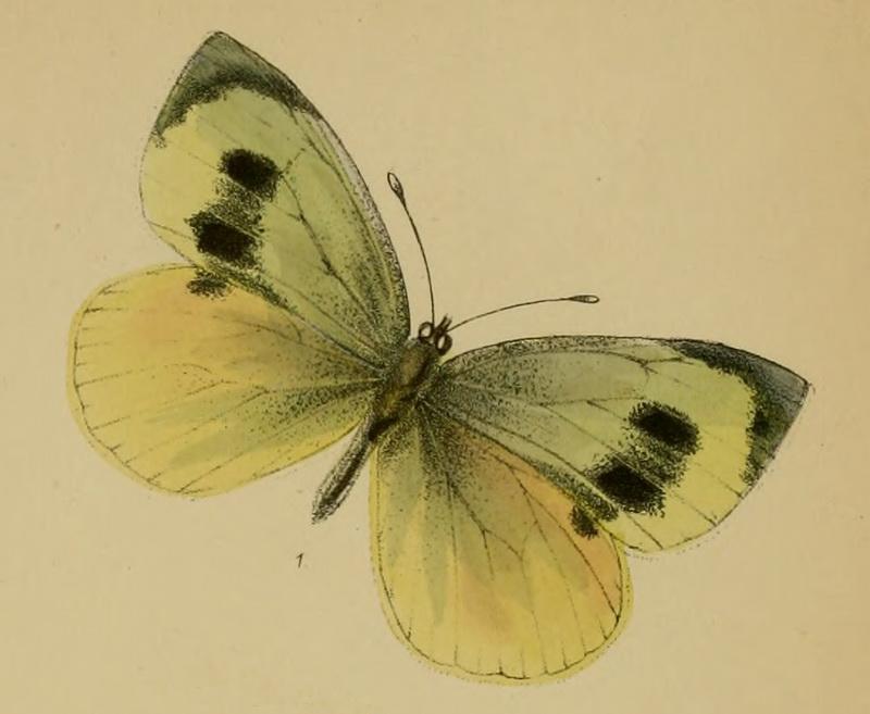 Большая белая бабочка Мадейры