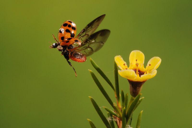 Winged flight - a ladybird floats above a flower