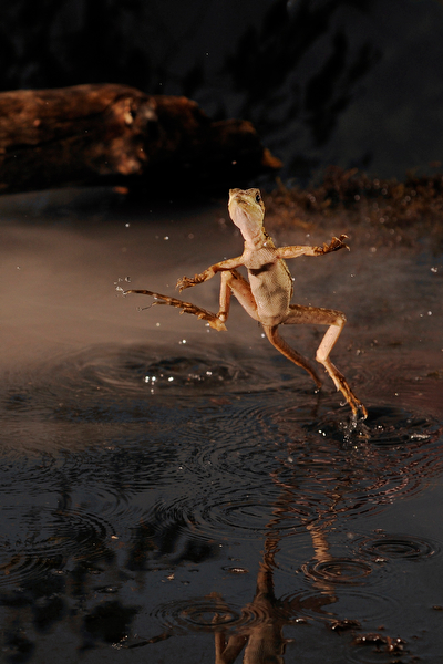 Walking on water - the Jesus lizard, so called because of its ability to walk on water