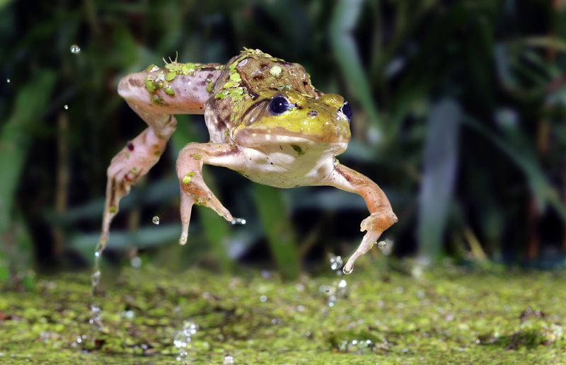 Leap frog - The Flying Frog