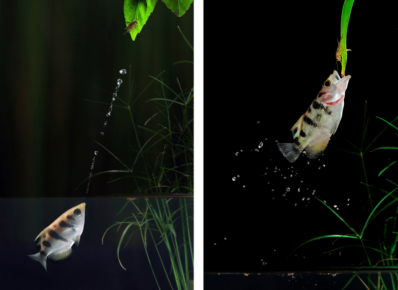 An Archer fish spitting water up at an insect and leaps up out of the water to grab it