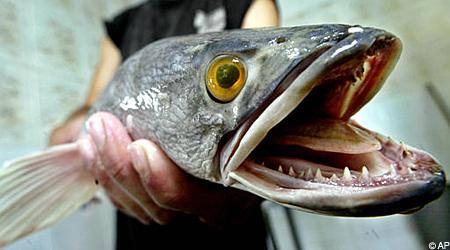 Змееголовая рыба (snakehead)