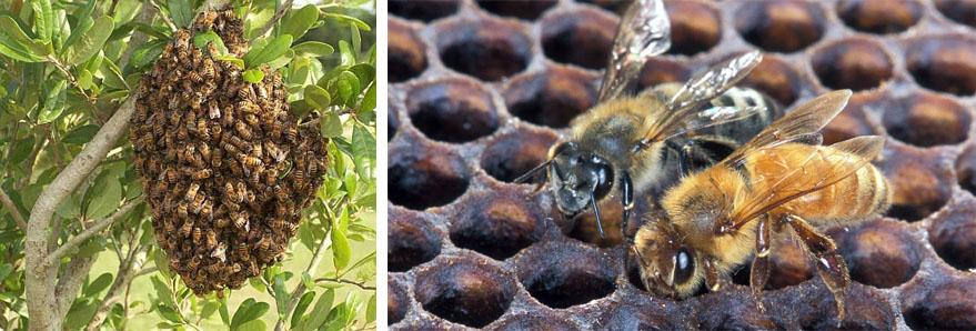 Африканские пчёлы