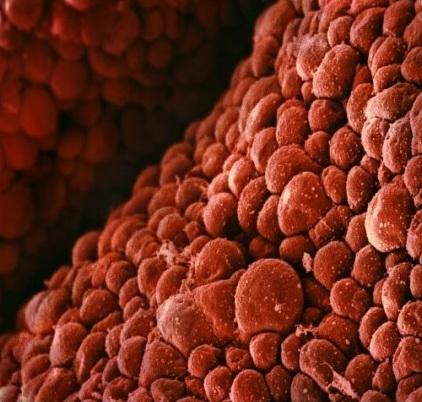 Клетки сердца эмбриона