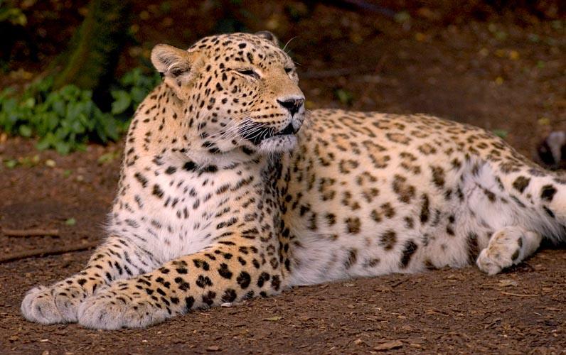 Переднеазиатский леопард (Panthera pardus tulliana)