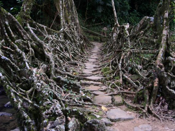 Живой мост из пальмы