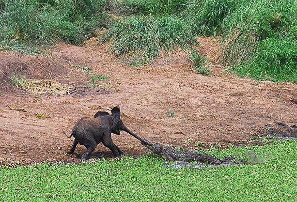 крокодил схватил слонёнка за хобот