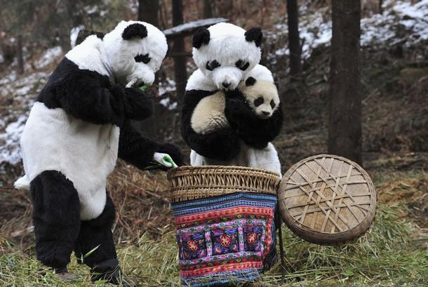 Китайский урок бережного отношения к природе: Китайские исследователи в костюмах панд